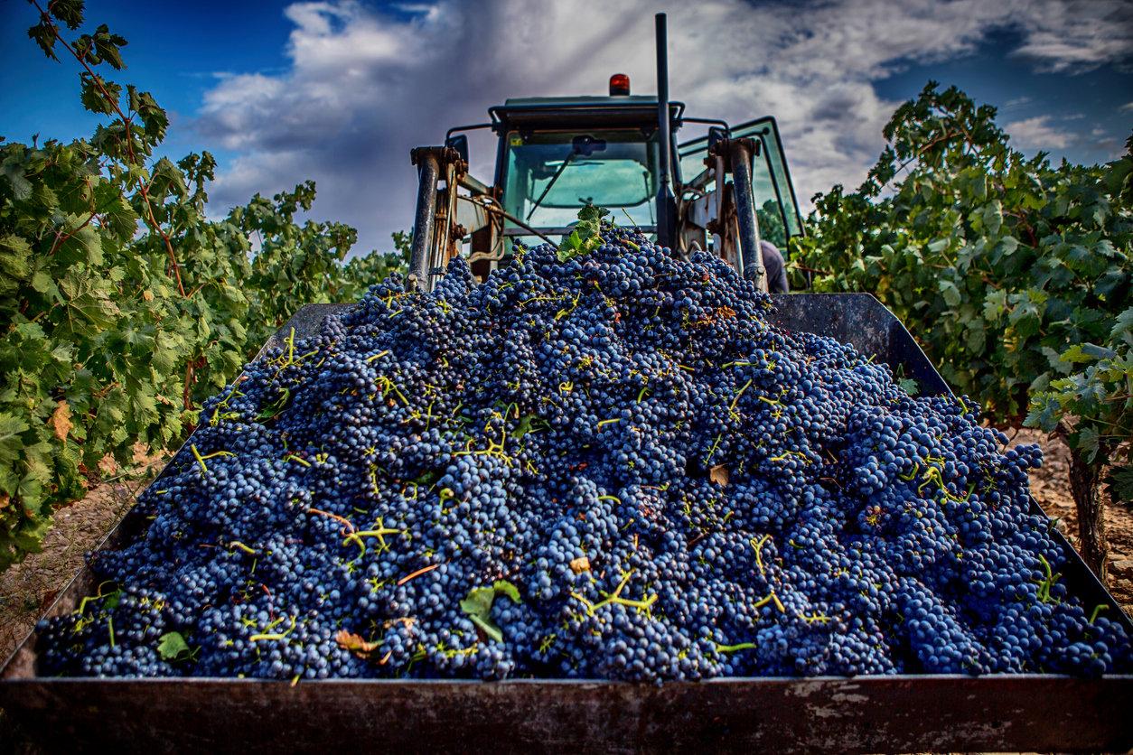 Crimean grape